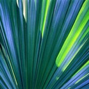 Blue-Fan-Palm